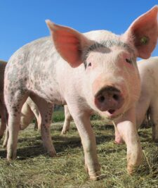 Pesta porcina africana confirmata in Bihor