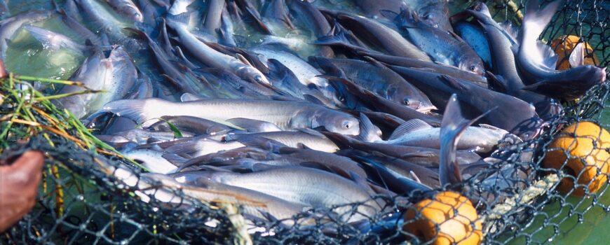 Sprijin pentru piscicultori la infiintarea sau dezvoltarea unei exploatatii piscicole